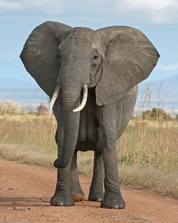477px-African_Bush_Elephant-crop
