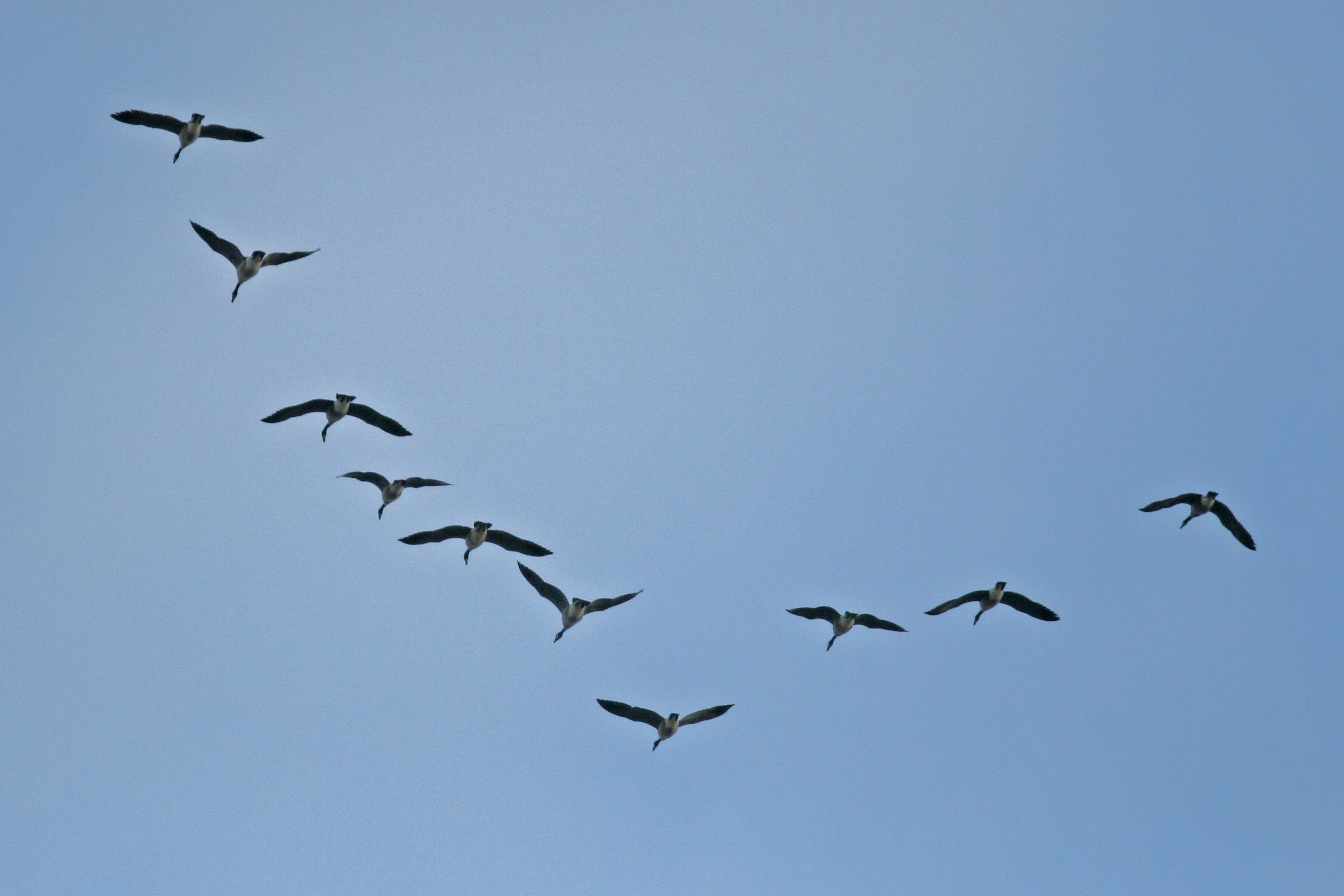 Canadian Geese flying in a V-formation