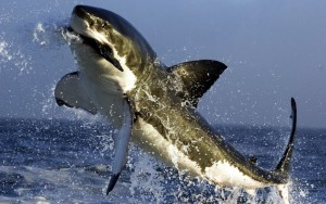 great-white-shark-picture-eating-seal-pictures_348252