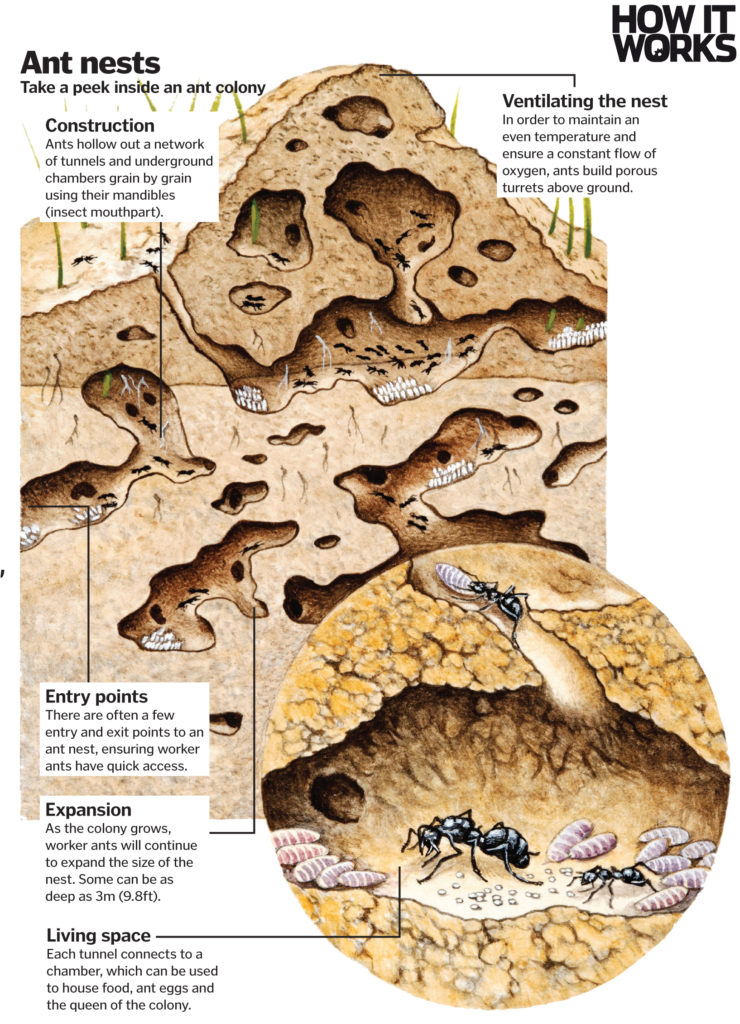 Ant architects: How do ants construct their nests? – How It