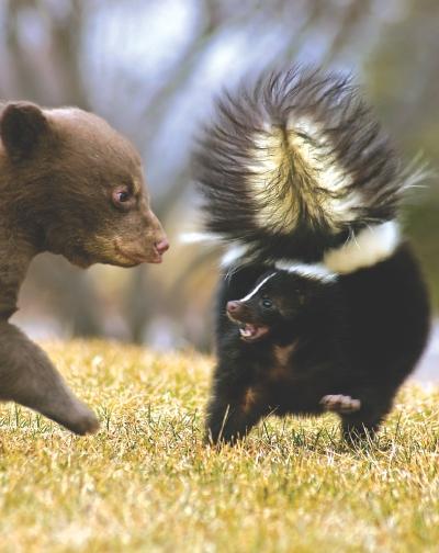 Black Bear (Ursus americanus) Cub Threatens Striped Skunk - moti