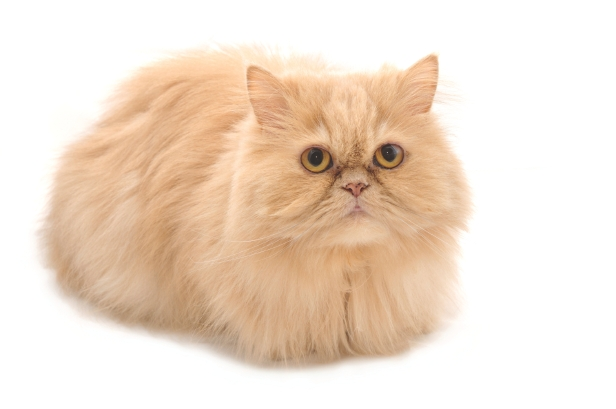 persian cats do have flat faces the traditional or doll faced persian ...