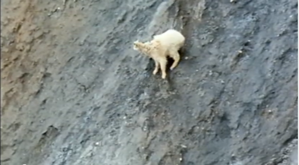 mountain goat, video, mountain, goat, hooves, climb, climbing