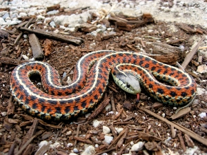 most common snake, question, answer, environment, garter snake