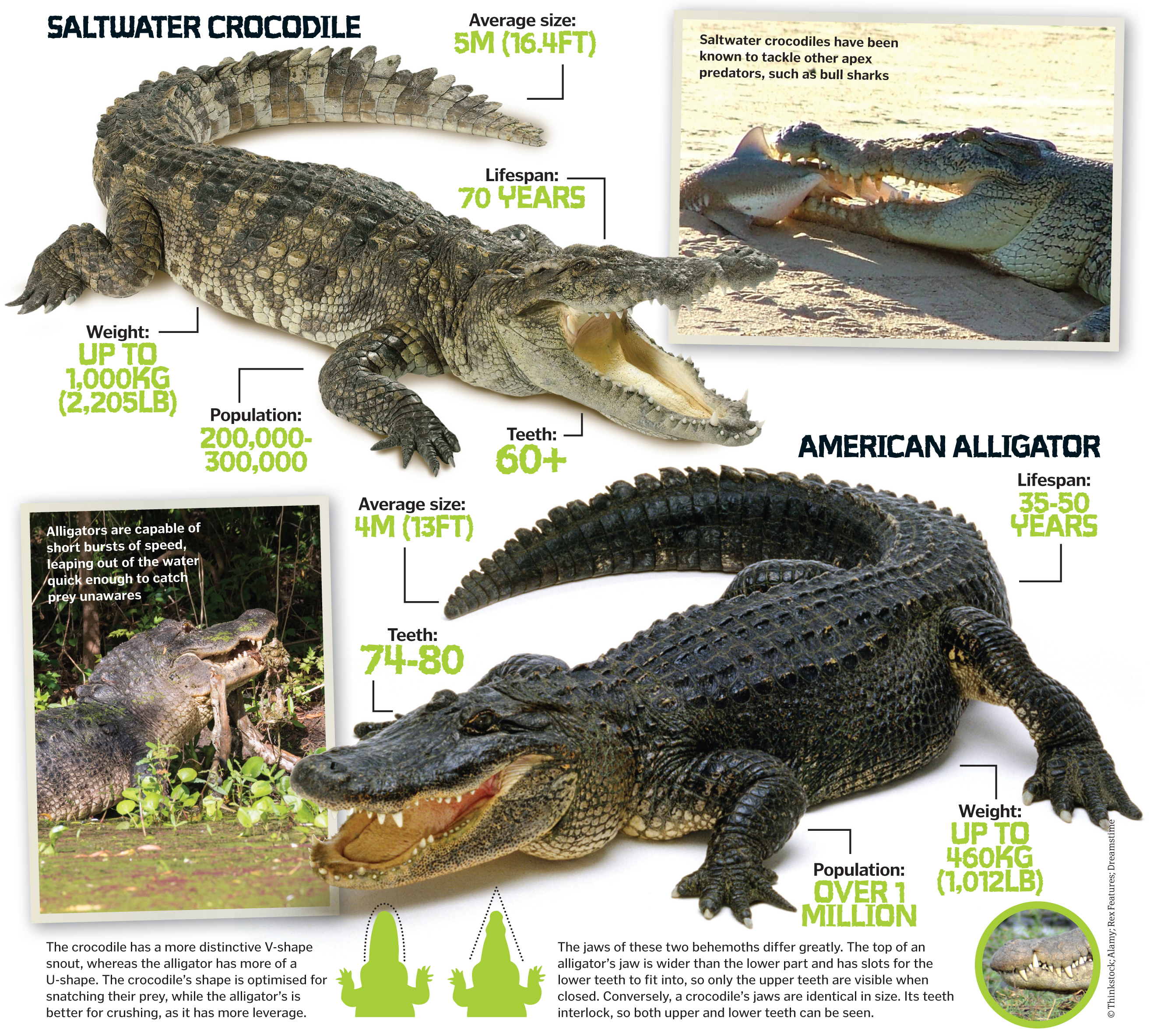 crocodile vs alligator Crocodiles have pores in their skin crocodiles and alligators are both very large reptiles with thick, scaly skin both alligator and crocodile skins are used to make various leather products, including.
